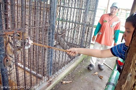 Island Cove Zoo tiger feeding