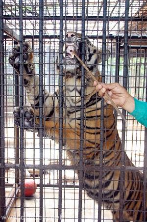 Island Cove Zoo tiger