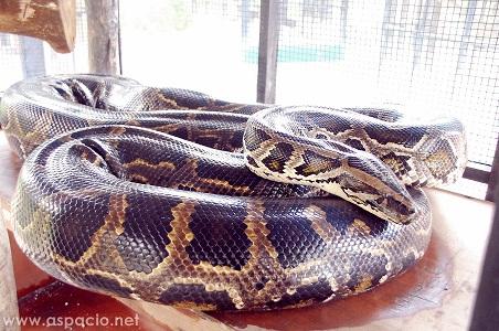 island cove burmese python