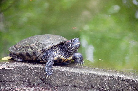 island cove turtle